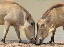 Warthog - familjmöte Royaltyfri Bild