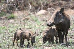 Warthog family Stock Image