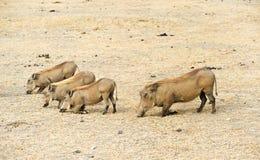 Free Warthog Family Royalty Free Stock Image - 22241186