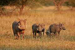 Warthog family Royalty Free Stock Image