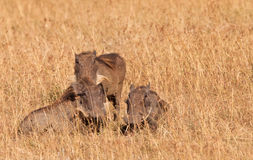 A Warthog Family Royalty Free Stock Images