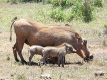 Warthog Family Stock Photography