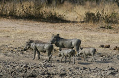 A warthog family. In Ruaha Nationa Park Stock Photos