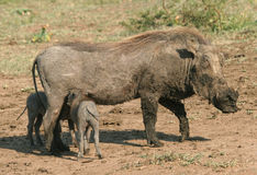 Warthog family Royalty Free Stock Images