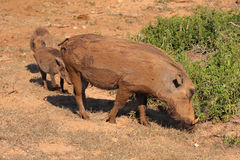 Warthog family Royalty Free Stock Photography