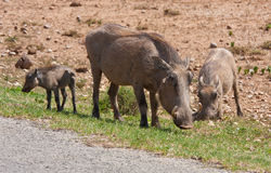 A warthog family in Addo Safari Park Royalty Free Stock Photo