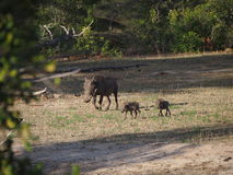 Warthog family. And babies roam the Selous game reserve in Tanzania Royalty Free Stock Photo