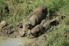 A warthog family Royalty Free Stock Photos