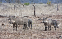 Warthog family in dry short grass Stock Photos