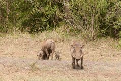 Warthog family with male standing guard. Warthog family scientific name: Phacochoerus aethiopicus, or `Ngiri` in Swaheli image taken on Safari located in the Royalty Free Stock Photography