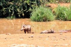 Warthog family Stock Photo