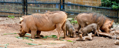 Warthog Family and Rhinoceros Stock Images