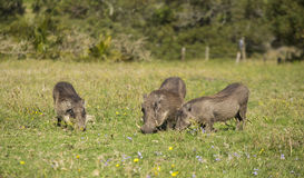 Warthog family in the spring flowers Royalty Free Stock Images