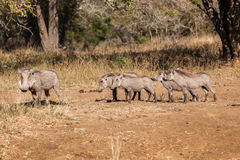 Warthog Animal Family Wildlife Stock Photo