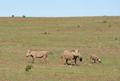 Warthog family in the wild Stock Image