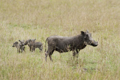 Warthog with family Stock Images