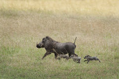 Warthog with family Royalty Free Stock Images