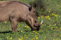 Warthog feeding on buttercups Stock Photos