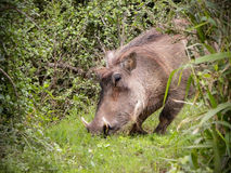 Warthog Feeding. A close-up view of a male Warthog feeding in the African bush Stock Photo