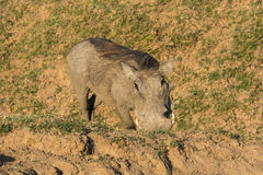 Warthog feeding on its knees Stock Image