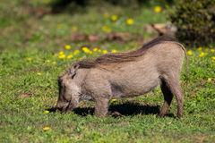 Warthog feeding Royalty Free Stock Photography