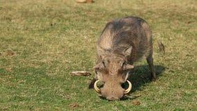 Warthog feeding Stock Photos