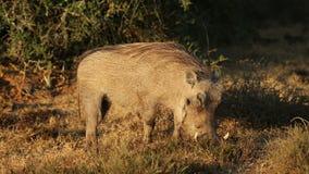 Warthog feeding stock video footage