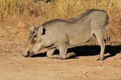 Warthog feeding in natural habitat Royalty Free Stock Image