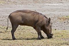 Warthog feeding Stock Image