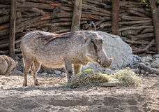 Warthog. At feeding time, the Living Desert Royalty Free Stock Photography