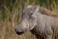 Warthog female. A close up of a female warthog in the kruger national park, south africa Stock Image