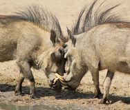 Warthog - Fight Club 1. Adult male Warthogs fighting at a watering hole.  Photo taken on a game ranch in Namibia, Africa Royalty Free Stock Images