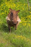Warthog in Flowers. Warthog in Addo Elephant National Park stock photography