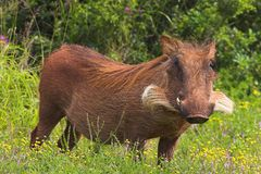 Warthog in Flowers. Warthog in Addo Elephant National Park royalty free stock photos