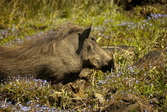 Warthog with flowers Royalty Free Stock Photography