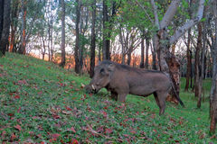 Warthog in Forest at Sunset Stock Photo