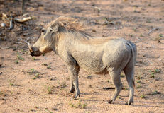 Warthog found in South Africa Stock Images