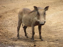 Solitary young male  Warthog in game reserve on muddy dust sand road. Solitary Warthog on  sand road Royalty Free Stock Image
