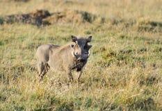 Warthog gapi się przy kamerą Obrazy Stock