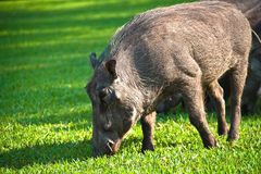 Warthog on grass. An african  warthog eating on a grass meadow Stock Photography