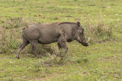 Warthog on grass Stock Images