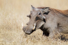Warthog in grasslands. A warthog in grasslands ( Phacochoerus africanus - Kruger National Park - South Africa Stock Photos