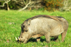 Warthog Grazing. The Warthog or Common Warthog grazing Stock Photography