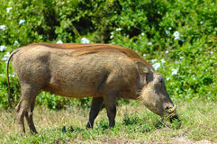 Warthog grazing Stock Photography