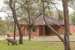 Warthog grazing at chalet in the Waterberg Plateau National Park Royalty Free Stock Images