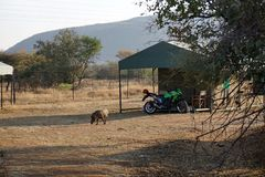Warthog and motorcycle at a tent in a campground in Pilanesberg National Park. Warthog grazing in front of a motorcycle parked in front of a permanent tent in a stock photo
