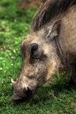 Warthog. Stock Images