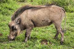 Warthog. Royalty Free Stock Photos