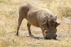 A warthog grazing Royalty Free Stock Photography