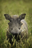 Warthog in green field. Portrait of common warthog in green field Royalty Free Stock Images